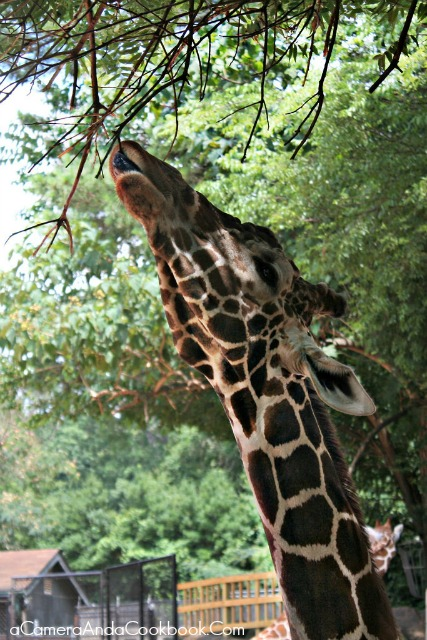 Zoo_Atlanta_Giraffe