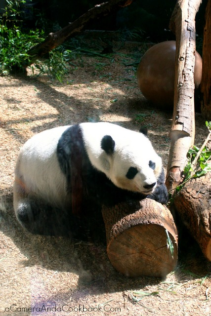 Zoo_Atlanta_Panda