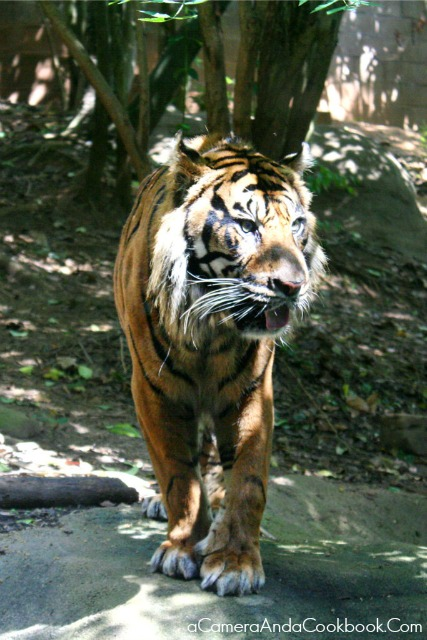Zoo_Atlanta_Tiger