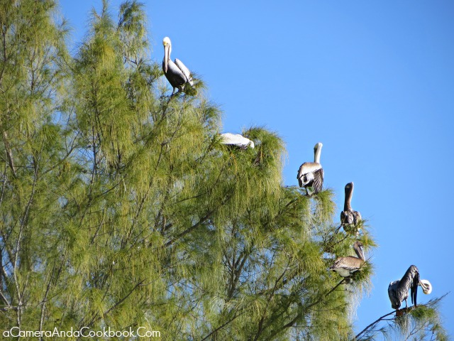 Sanibel Pelicans