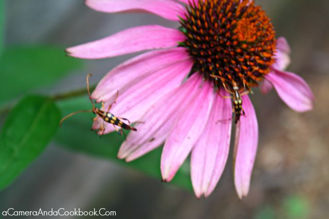 One of my favorite photos from July is this pic of a Flower with Bugs on it, taken at Desota State Park